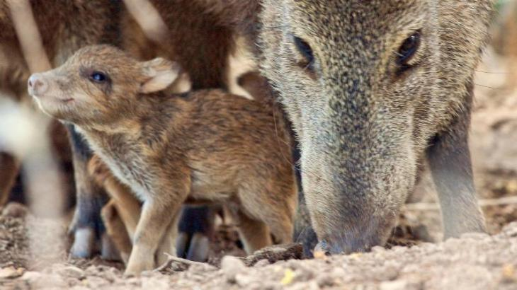 Collared peccary and young-un